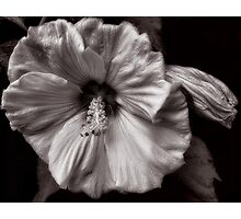 Rose Mallow Bloom Photographic Print