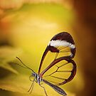Glasswing Butterfly by jimmy hoffman