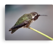 MALE HUMMINGBIRD ANNA'S CHEWING OUT A  YOUNGSTER Canvas Print