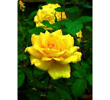 Golden Rose After the Rain Photographic Print