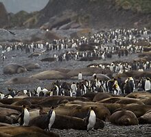 King Penguin & Elephant Seal Beach  by Steve Bulford