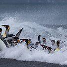 King Penguins Arrive by Steve Bulford