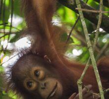 Young Orangutan - Borneo Sticker