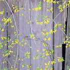 Fence with Forsythia © by Ethna Gillespie