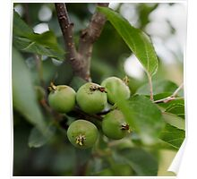 Green unripe apples Poster