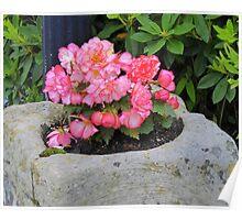 Peach Begonia Poster