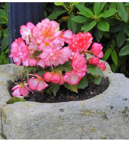 Peach Begonia Sticker