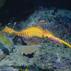 Weedy Seadragon male with eggs by Erik Schlogl
