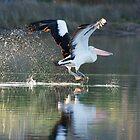 Flighty Pelican by pcbermagui