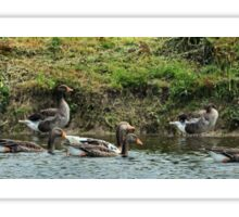 Pano geese Sticker