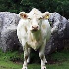 Charolais Cow portrait view/pose head on in a field with rocks in background by JHMimaging