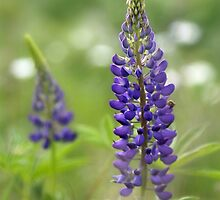 Lupin Blooms by NaturesEdge
