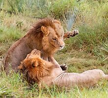 Big Cats Play by Owed To Nature