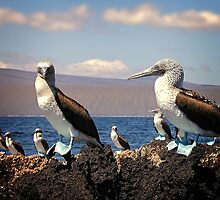 Blue footed bobbies/Galapagos by globeboater
