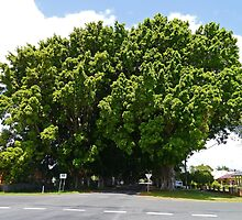 Fig Tree Avenue, Grafton, New South Wales by Margaret  Hyde