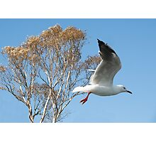 Beautiful Australian Seagull. Exclusive Photo Art. Photographic Print