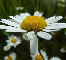 Marguerite daisy in French country side by Ingrid  Sloss Demazeux