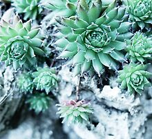 Echeveria at a stone by novopics