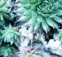Echeveria at a stone Sticker