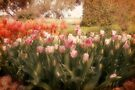 Tulip Dreams by Elaine Teague