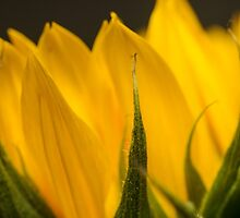 sunflower macro by stresskiller