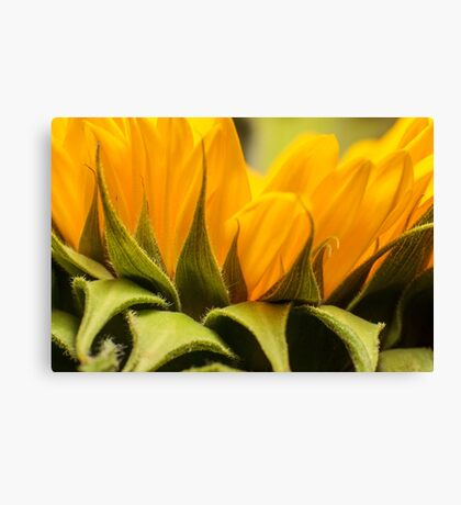 zonnebloem macro Canvas Print