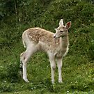 Fallow Deer Fawn by AnnDixon