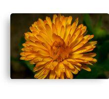 Calendula marigold Canvas Print