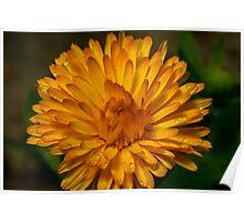 Calendula marigold Poster