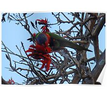 Rosella high in the tree Poster