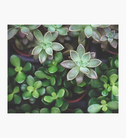 Garden Green Succulents Photographic Print