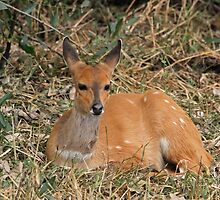 Relaxed resting female bushbuck by jozi1