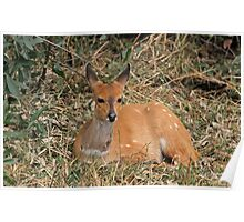 Relaxed resting female bushbuck Poster