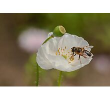 hoverfly on white poppy Photographic Print