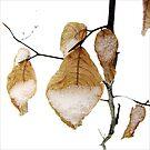 Beech Tree Leaves in Snow by LouiseK