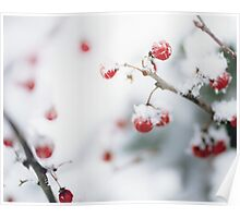 Winter Red Berries Poster