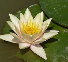 WATER LILY - from my pond by Marilyn Grimble