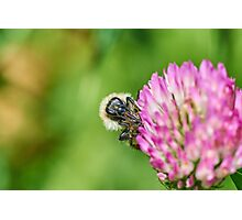 Common carder bee Photographic Print