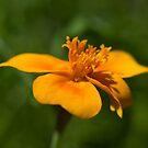Tagetes tenuifolia by Kasia-D