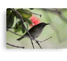 Brown Honey Eater  Canvas Print