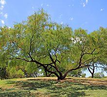 Craggy Mesquite by Judi FitzPatrick