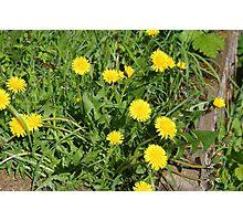 Dandelions (Taraxacum) Photographic Print