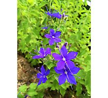Speedwell Flower Photographic Print