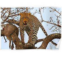 Male leopard with catch! Poster