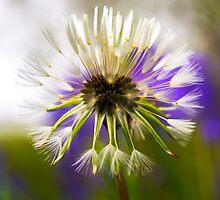 Dandelion in Seed by Neil Cameron