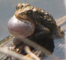Vocalizing american toad Sticker
