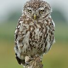 Grumpy Little Owl by Peter Wiggerman