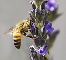 Mr. Bumble In the Lavender by Heather Friedman