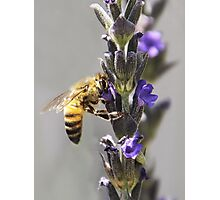 Mr. Bumble In the Lavender Photographic Print