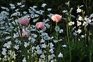 Ballet Now Showing  - The Pink Poppy by Barbara Burkhardt